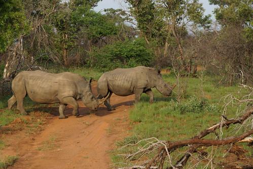 White rhinos 白犀牛