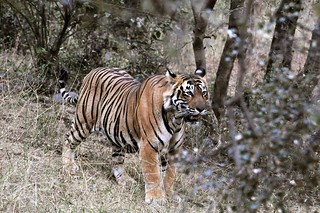 Tiger Tiger burning bright! - T24 at Ranthambhore