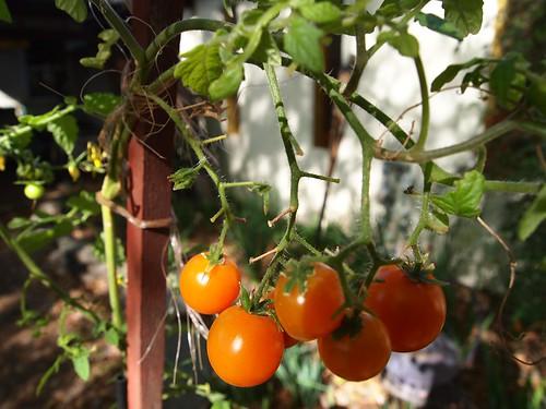 Tomatoes in February?!
