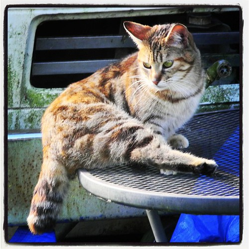 Half-Tailed Brown Tabby Cat