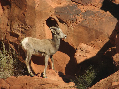 Desert Bighorn Sheep, Valley of Fire State Park @ Nevada 12.2012