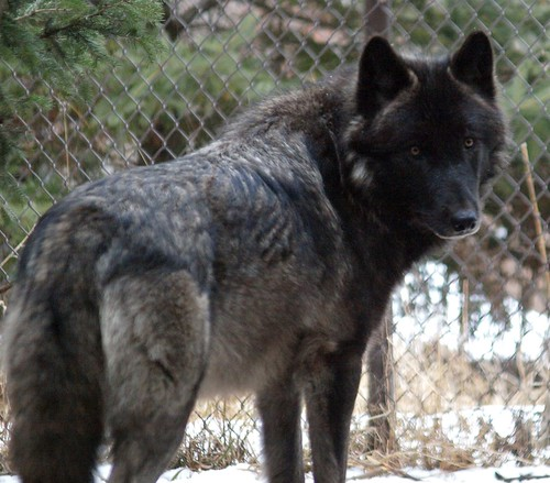 2012-02-03 Mn Zoo & Fur-Ever Wild Wolves 285 by puckster55pics