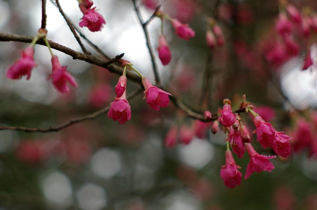 龍年初之櫻花