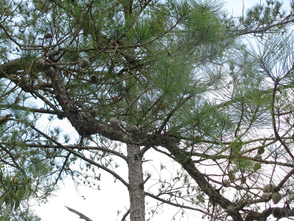 Pinus Serotina