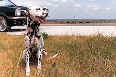 Dominoe Looking Across Texas