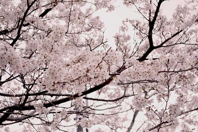 naritasan_sakura_20140402_0