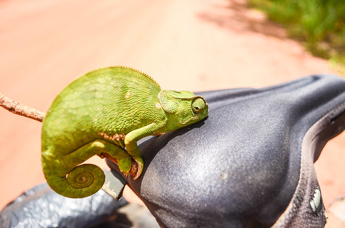 The cyclist chameleon (who doesn't want to pedal right now)