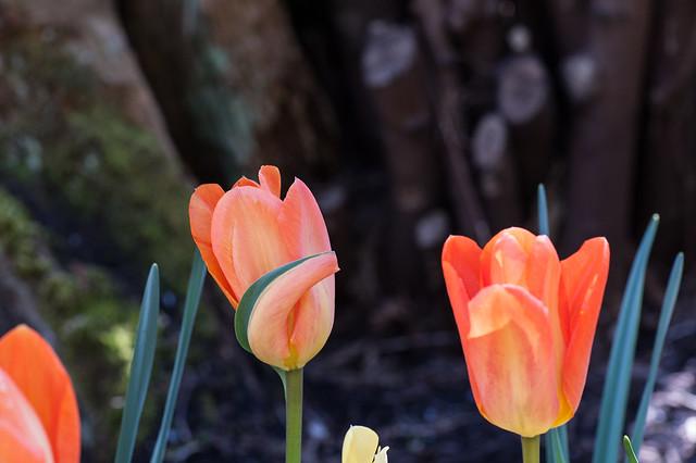 Undetermined tulip
