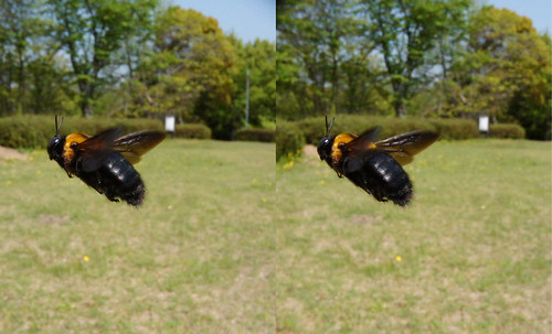 Xylocopa appendiculata, stereo parallel view