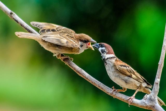 Thanks dad...  Eurasian tree sparrow (Passer montanus)