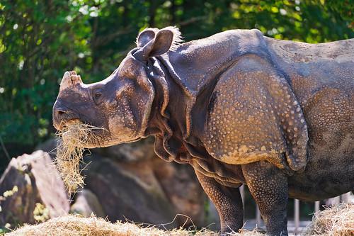無料写真素材, 動物 , 哺乳類, 犀・サイ