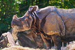[フリー画像素材] 動物 1, 哺乳類, 犀・サイ ID:201111281200