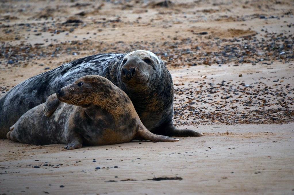 Gray Seals Mating @ Blakeney Point, England 23 Nov 11
