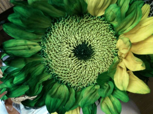 green & yellow sunflower by ceck0face