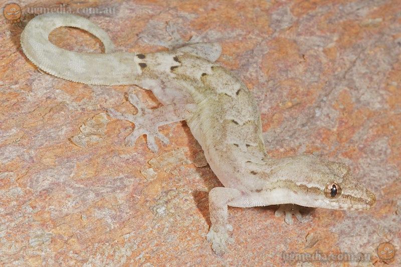 Mourning gecko (Lepidodactylus lugubris)