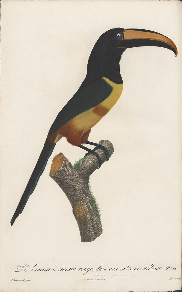 book illustration of toucan