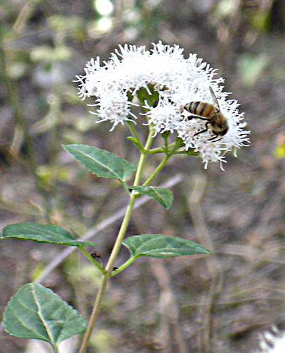 Honeybee on Boneset 120311