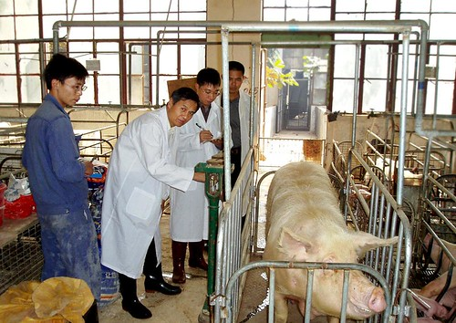 Scientists conduct a soy hull trial in China.