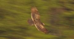 eagle(0.0), animal(1.0), bird of prey(1.0), wing(1.0), fauna(1.0), buzzard(1.0), accipitriformes(1.0), beak(1.0), bird(1.0), wildlife(1.0),