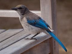 branch(0.0), blue jay(0.0), jay(0.0), emberizidae(0.0), crow-like bird(0.0), animal(1.0), wing(1.0), fauna(1.0), bluebird(1.0), blue(1.0), beak(1.0), bird(1.0),