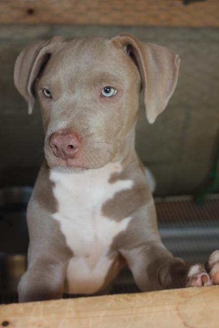 ://romnedcompany.ro/images/american-bandog-mastiff-puppies-for-sale