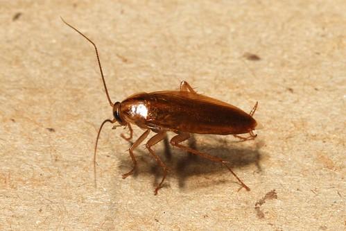 蟑螂。(來源:Martin Grimm)