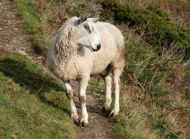 25420 - Ram at Rhossili, Gower