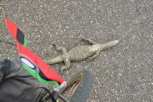 Roadkill: Monitor lizard