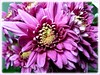 Chrysanthemum with purple flowers