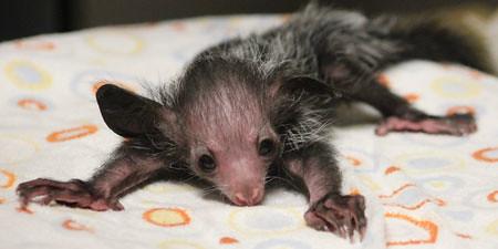 Baby aye aye lemur - photo#18
