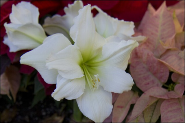 amaryllis_4560 ©2011 RosebudPenfold