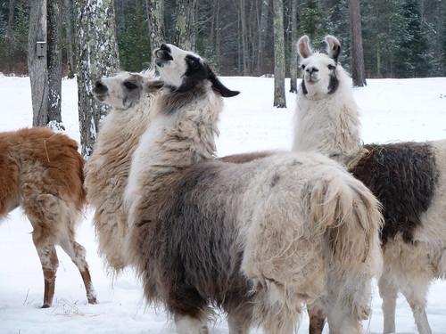 Travis' Llama Hates Us