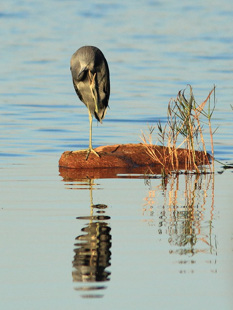 Little Blue Heron 2-20120101
