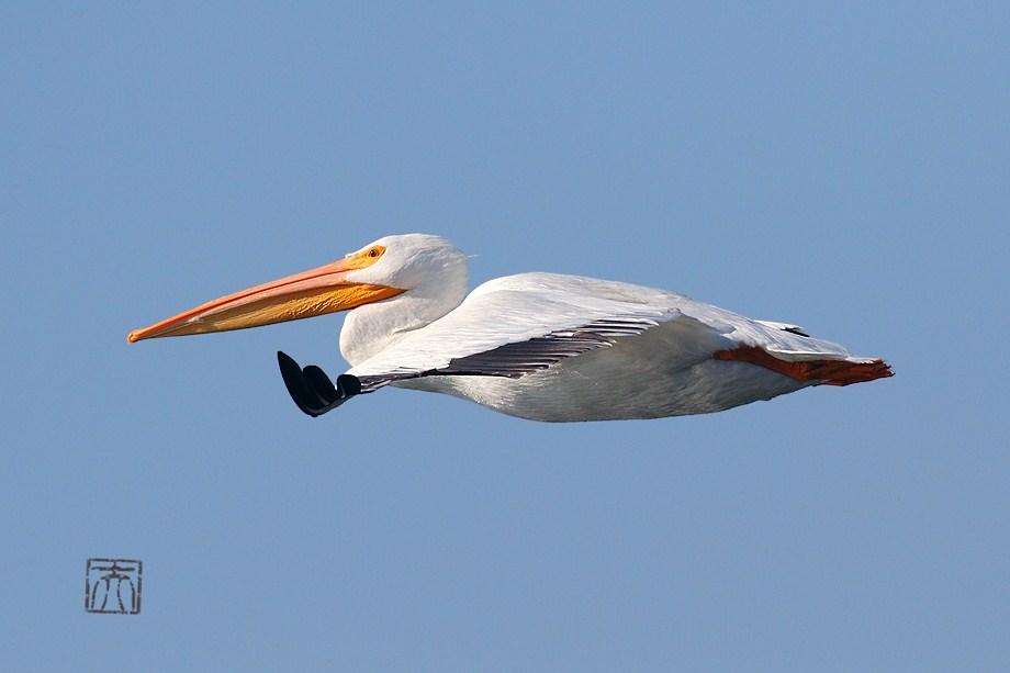American White Pelican 010112-3