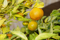 calamondin, citrus, orange, branch, yellow, plant, key lime, meyer lemon, kumquat, yuzu, flora, produce, fruit, food, tangelo, bitter orange, citron, lime, tangerine, mandarin orange,