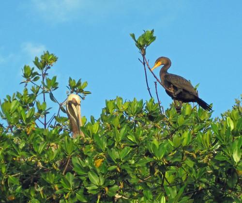 blue sky brown black tree green public cormorant fl mangroves roosting kl brownpelican picnik 2012 floridabay 122711 121711 frommykayak