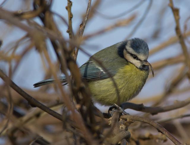 beaky blue tit