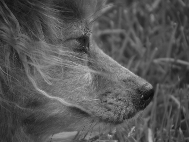 Brandy my Pomeranian Sheltie mix | Flickr - Photo Sharing!