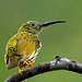 Streaked Spiderhunter #3