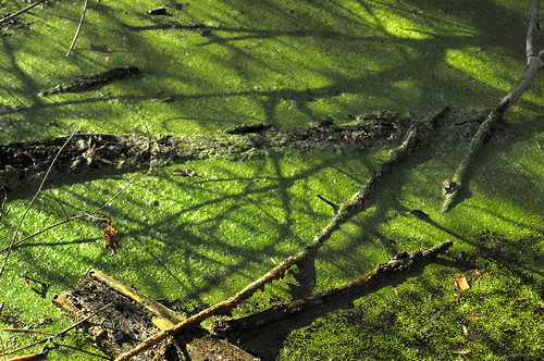 Duckweed. Thriving. In Madison, WI. In January.