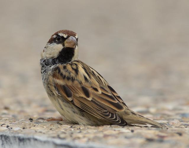 Spanish sparrow 10