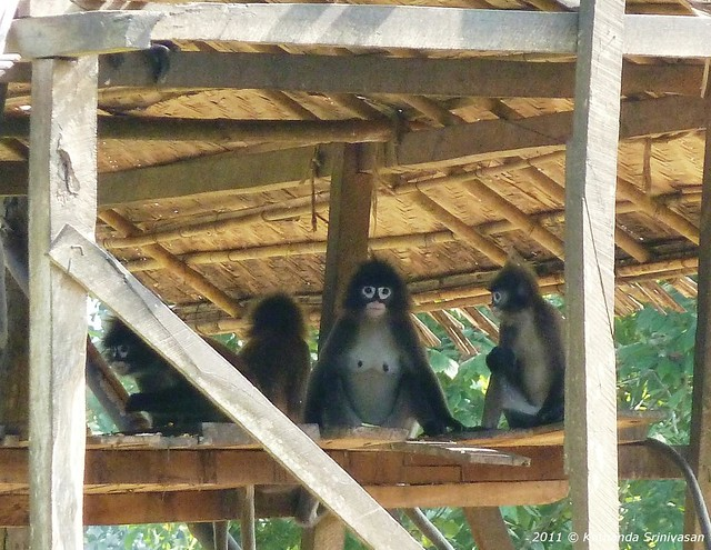 Spectacled Langurs in Sipahijala