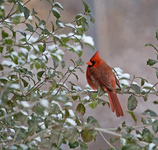 Winter Cardinal / ETOWN KY