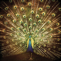 whichsideareyouon album cover with a photo of a peacock