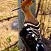 African Hoopoe (Dani Free)