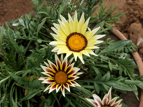 Gazania by M.Shafiq Chandaiser
