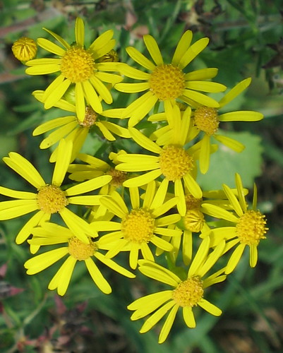 Possibly Butterweed - Packera glabella