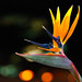 Bird Of Paradise Flower by Kartik J