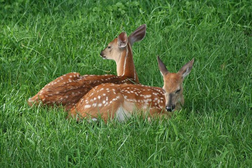 Fawns by jiminius