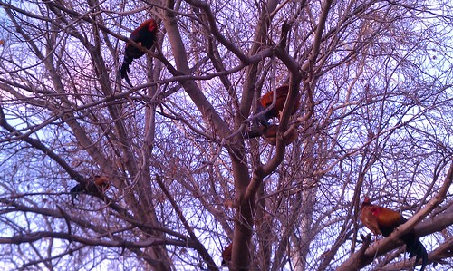 Feral chickens roosting in trees at Arroyo Seco Stables in South Pasadena